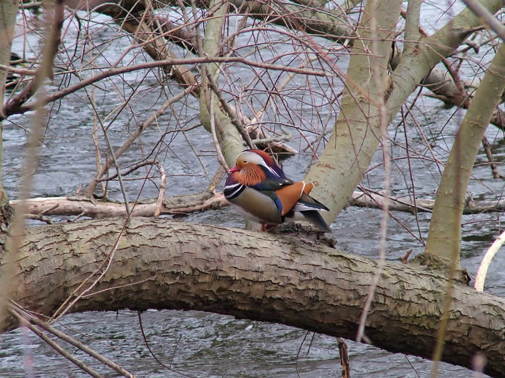 Photo: Mandarin Duck
