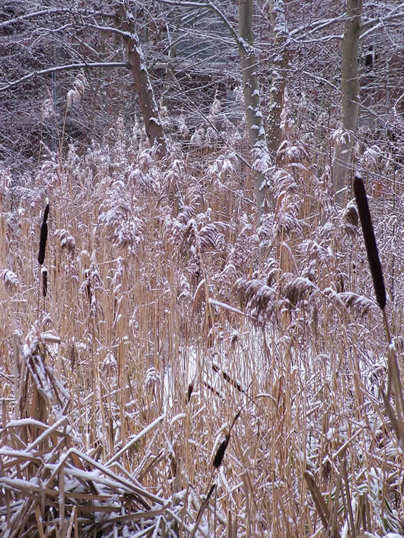 Photo: Snow covered grasses
